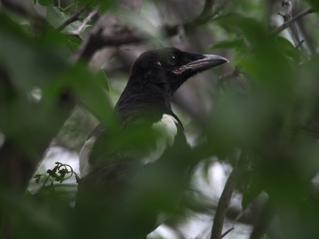 A juvenile magpie, one of four learning the ropes of being a dinosaur in the employee housing area.