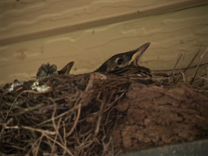 Baby American robins wait for worms. Mmm worms.