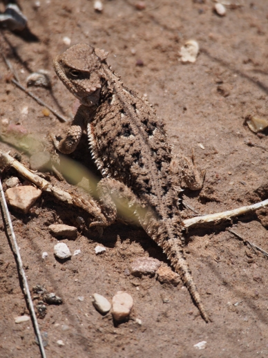 The horned toad was by far the most common animal on the trail. We lost count quickly.