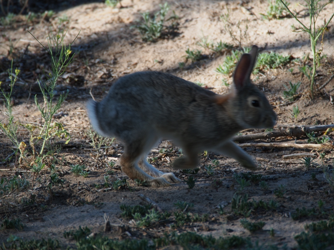 A hopping cottontail makes a great segue.