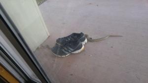 Glassy snake at Dinosaur National Monument