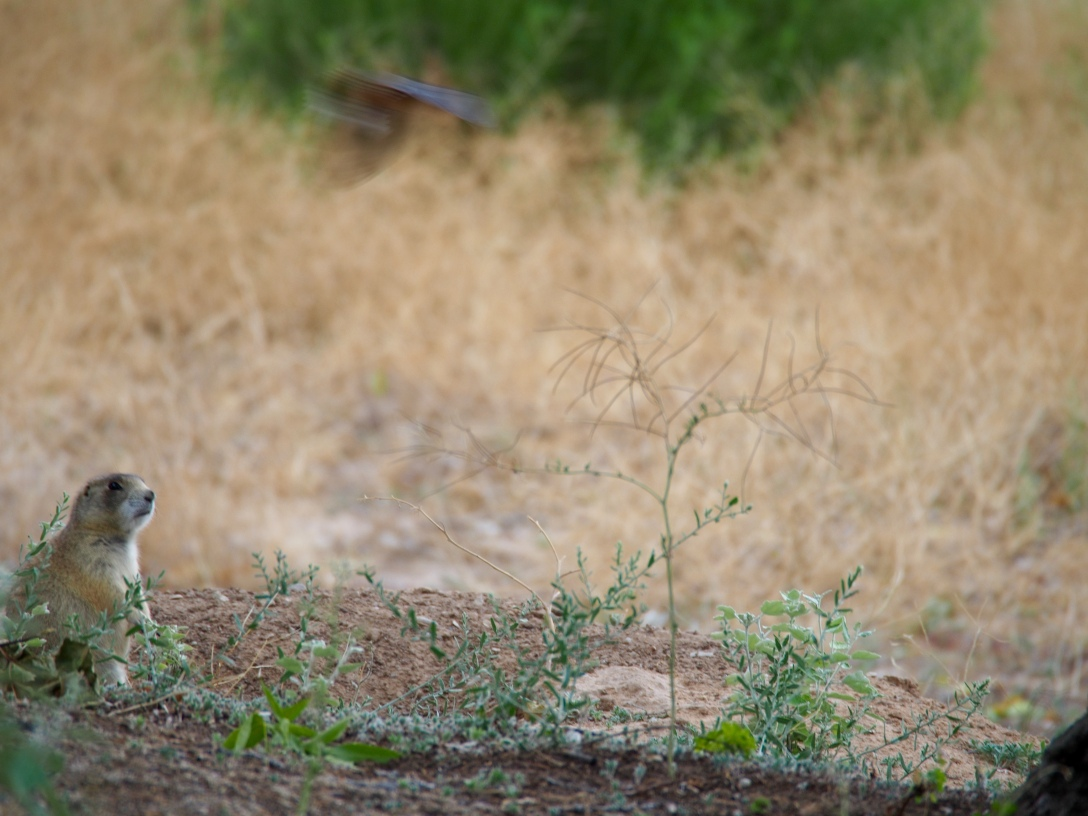 Prairie dog being attacked by barn swallows