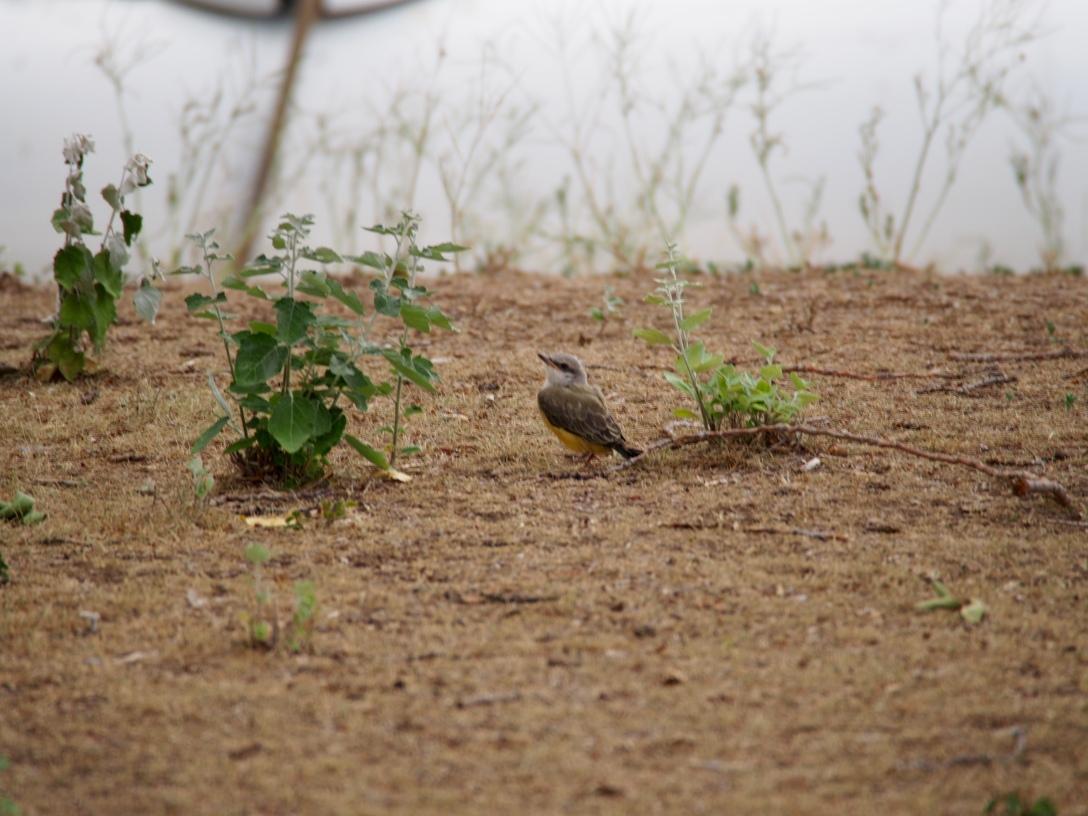 Western kingbird fledgling at Dinosaur National Monument