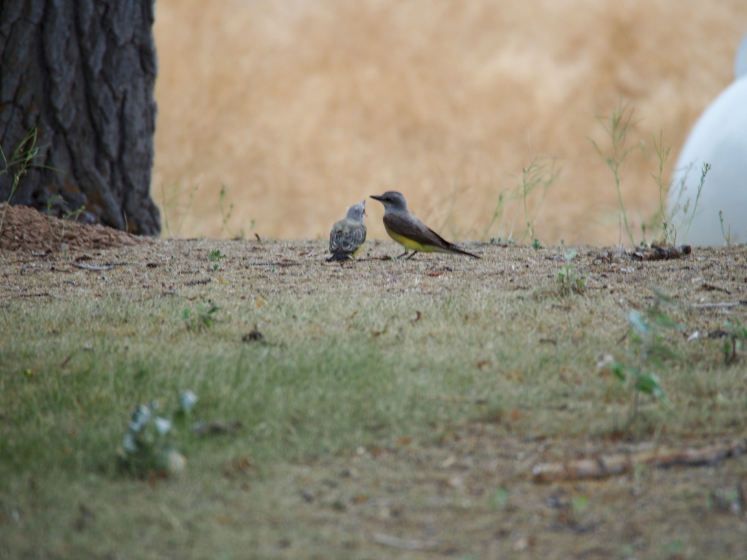 Western kingbird fledgling and parent at Dinosaur National Monument