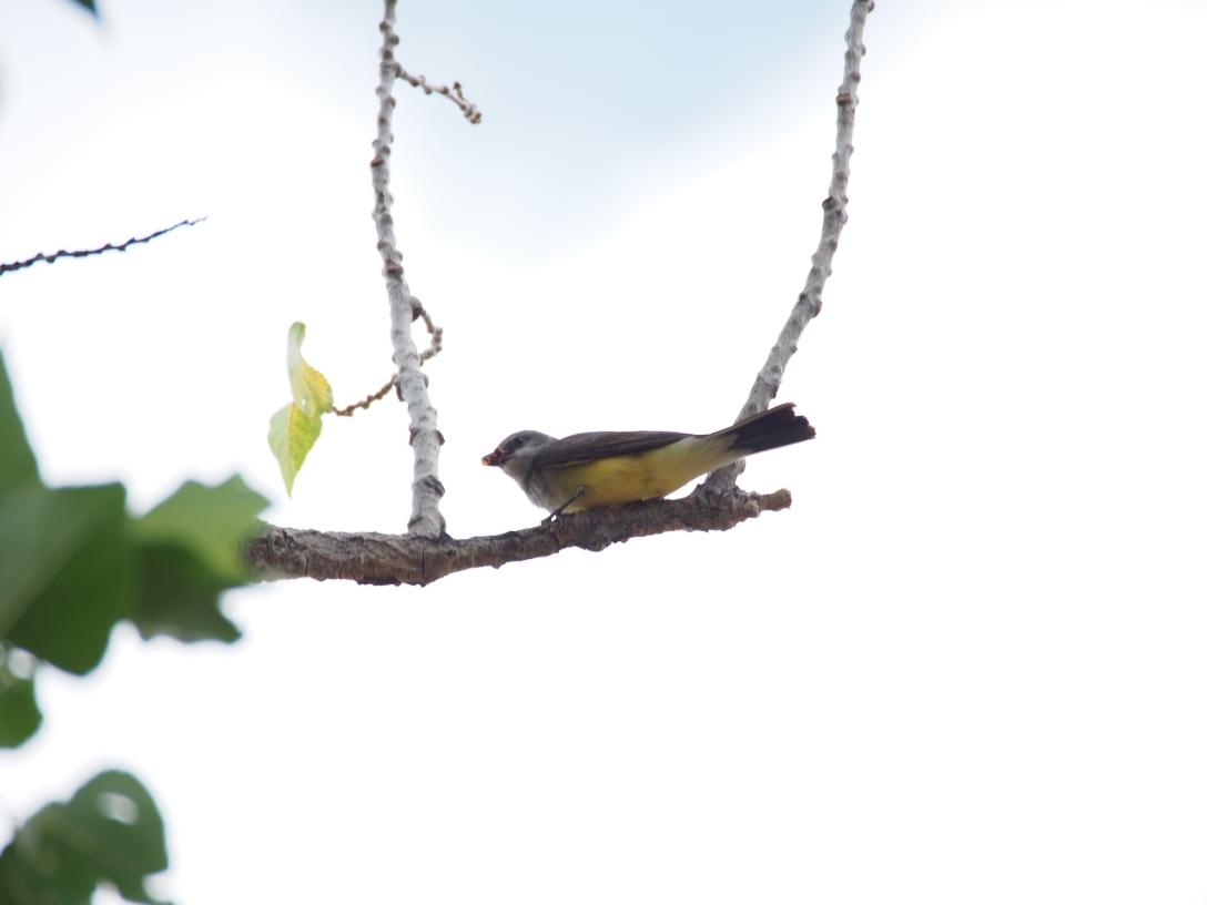 Western kingbird at Dinosaur National Monument