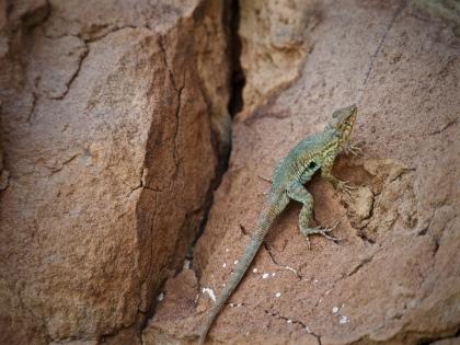 Lizard at Shiprock